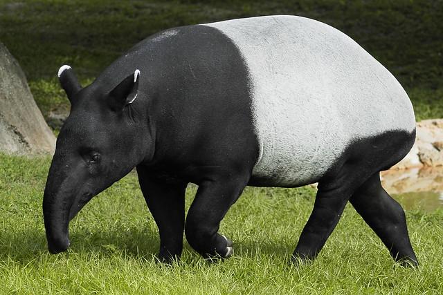 Malayan tapir colouring pages