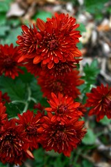 annual plant, dahlia, flower, red, plant, macro photography, wildflower, flora, petal,