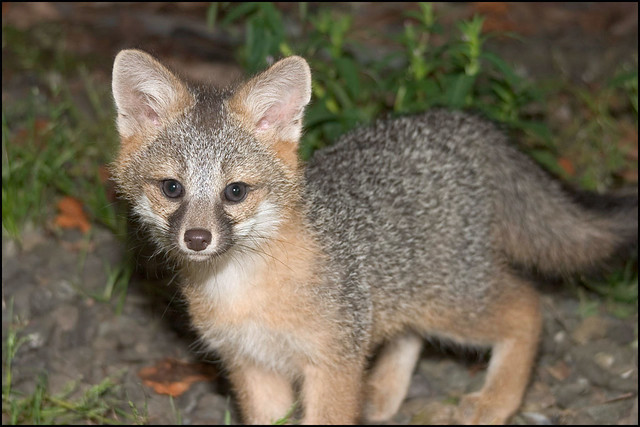 Baby gray foxes - photo#14