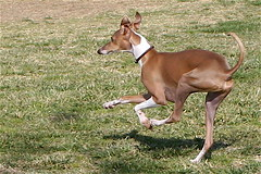 dog sports(0.0), animal sports(0.0), sports(0.0), dog breed(1.0), animal(1.0), hound(1.0), pharaoh hound(1.0), dog(1.0), cirneco dell'etna(1.0), sighthound(1.0), pet(1.0), podenco canario(1.0), italian greyhound(1.0), ibizan hound(1.0), hunting dog(1.0), carnivoran(1.0),