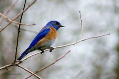 blue bird 6762