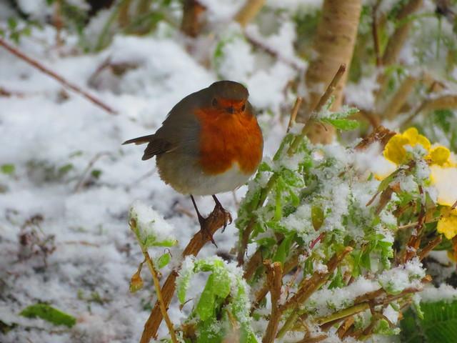 Robin in the snow again 18-03-2018