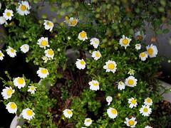 White daisies (白いデイジー)