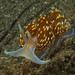 Opalescent Nudibranch - Photo (c) Ken Bondy, some rights reserved (CC BY-NC-SA)