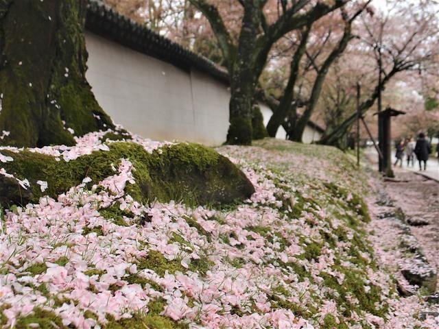 daigoji-sakura017
