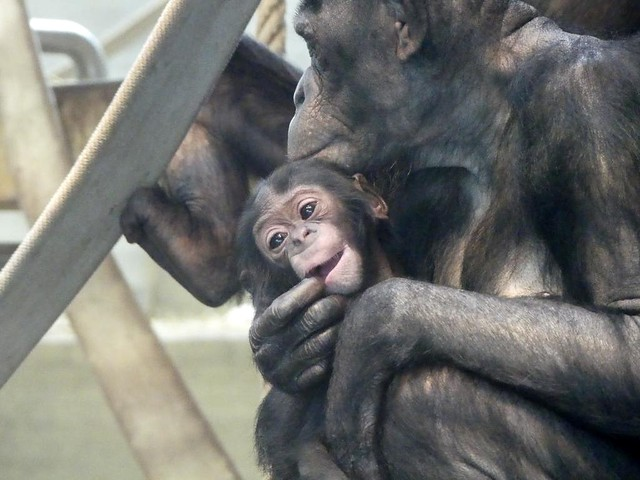 Bonobo, Wilhelma