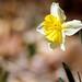 2018/365/79 Western Facing Daffodil