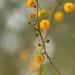 Acacia Balls