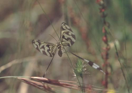 Duende (Nemoptera bipennis)