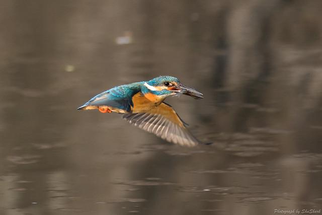 20180331-kingfisher-DSC_0726