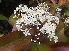 Photinia is in bloom