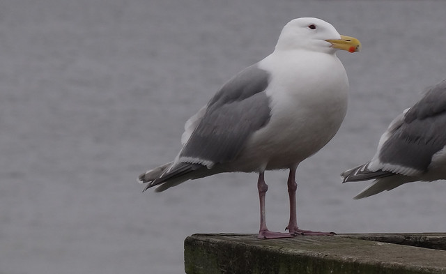 Olympic gull glaucous-winged