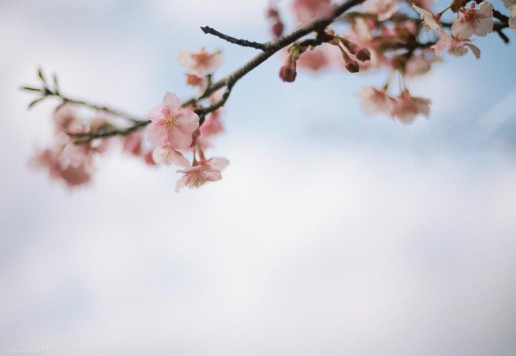 2018-03-17 河津桜とPORTRA160 006