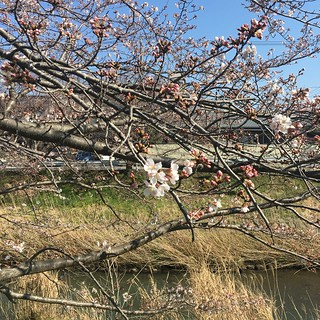 3月25日 矢那川の桜