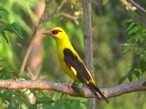 पीली चिड़िया