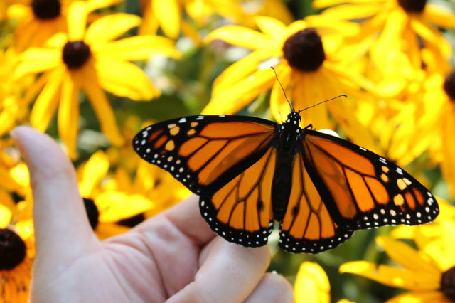 Male monarch butterfly with wings open, resting on an open hand in front of sunny black-eyed susans.