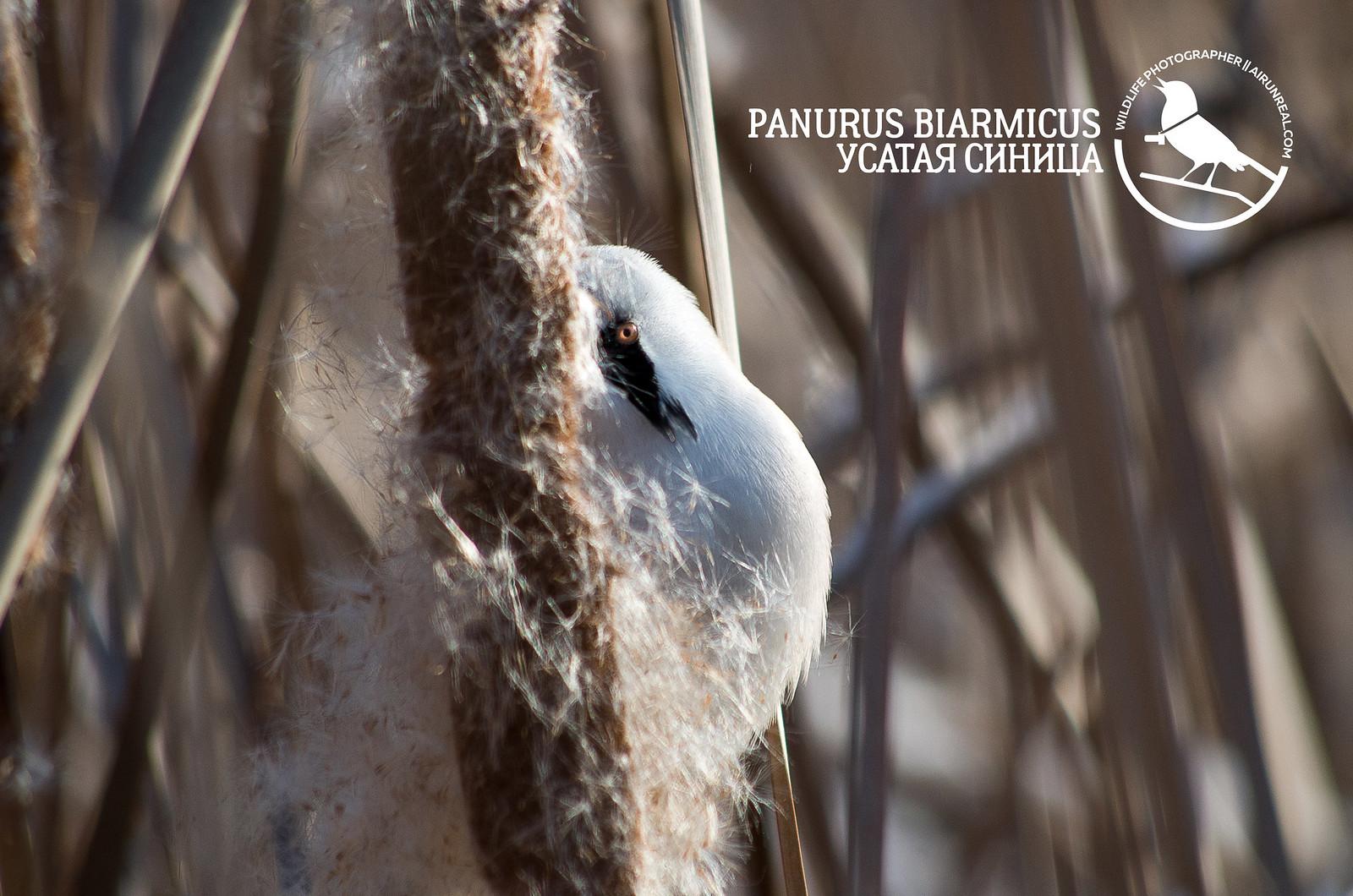 Panurus biarmicus // 20180330