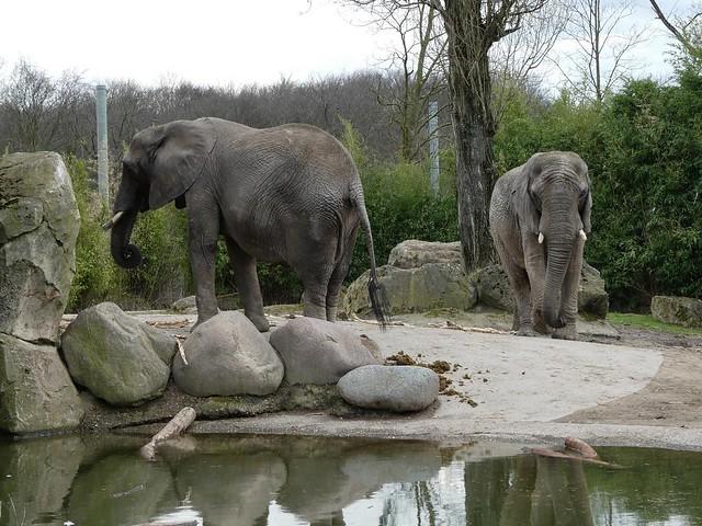 Elefanten, Zoo Duisburg