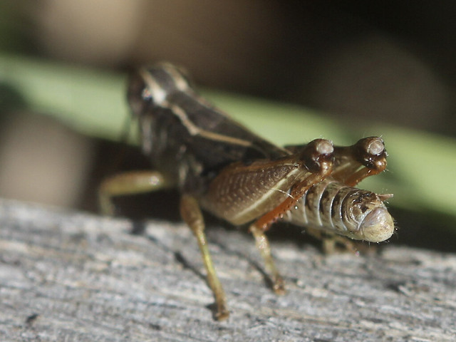Macro Grasshoppers #3
