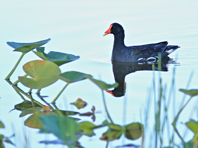 Common Gallinule 20180414