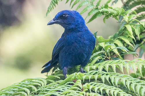 Unicolored Jay
