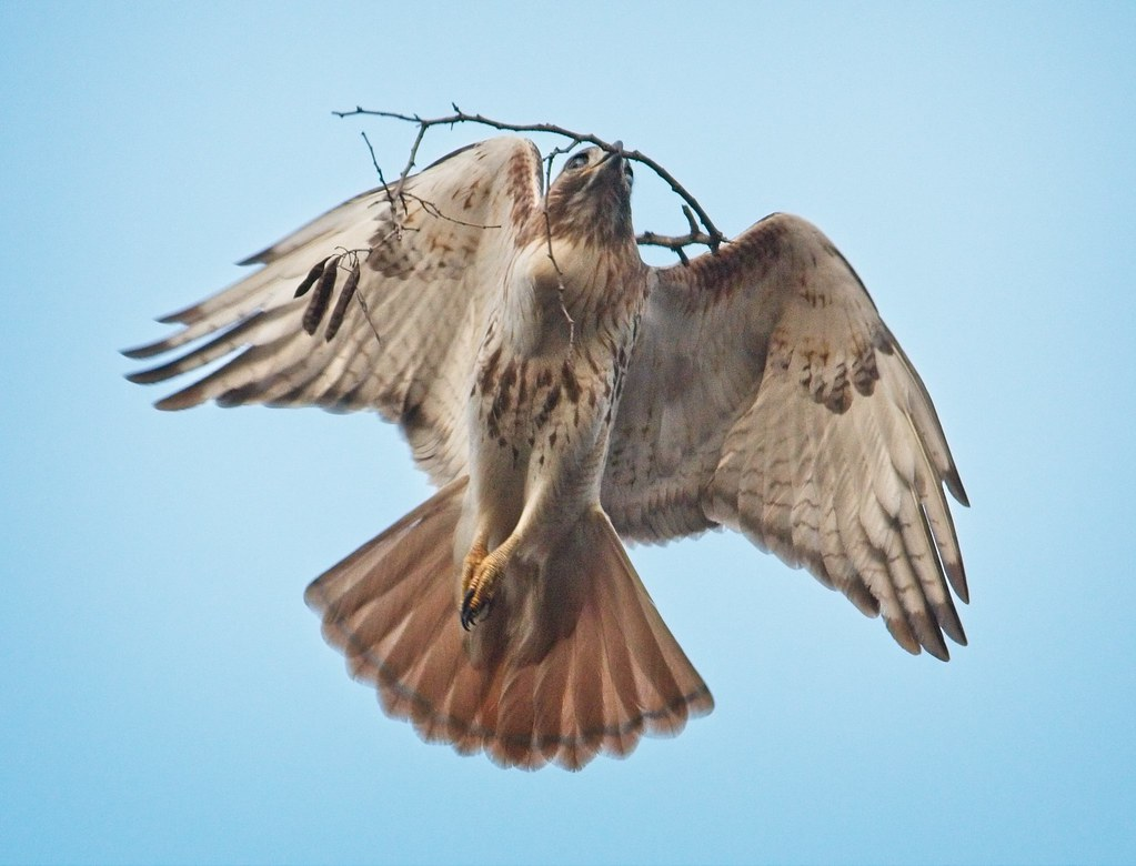 Christo carries a stick to his nest