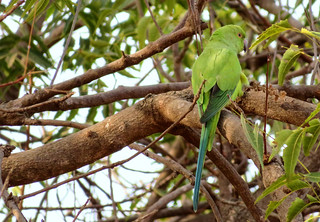 Rose-ringed parakeet (Psittacula krameri), Fajara golf course, The Gambia