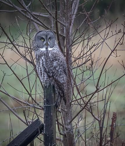 (Strix nebulosa) Great Gray Owl