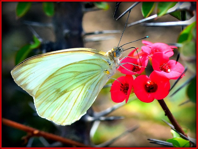 Butterfly, little flowers and thorns