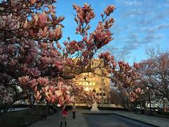 Pink magnolias blooming at sunset, Rawlins Park NW, Washington, D.C.