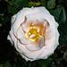 Rose-4970