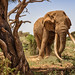 Bull Elephant by Photobirder