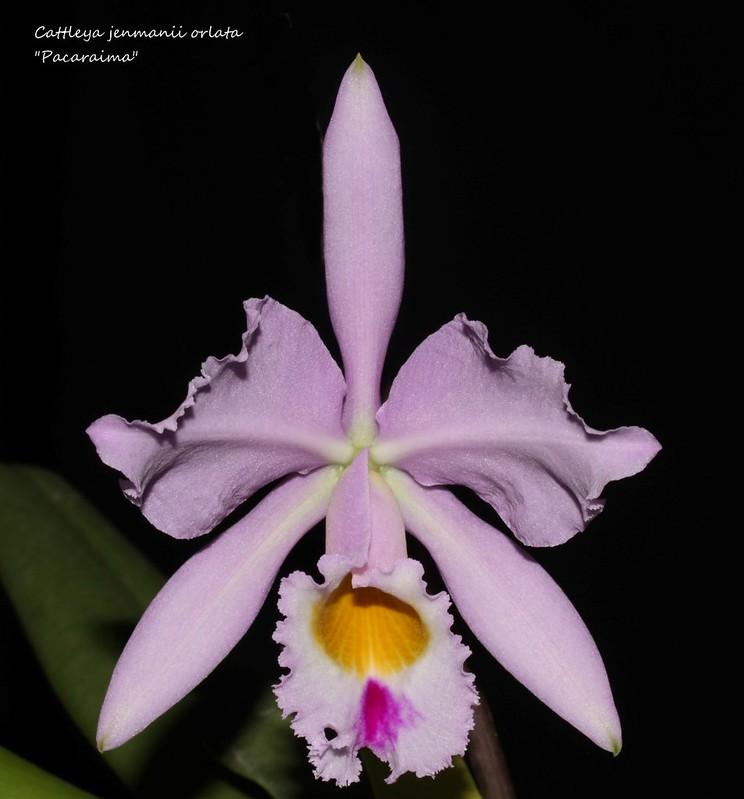 """Cattleya jenmanii orlata  """"Pacaraima"""" 39246470430_1ab915981d_c"""