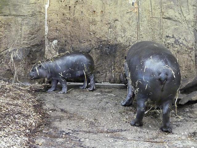 Zwergflusspferd, Zoo Duisburgqq