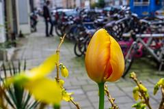 Urban Tulip (112/365)
