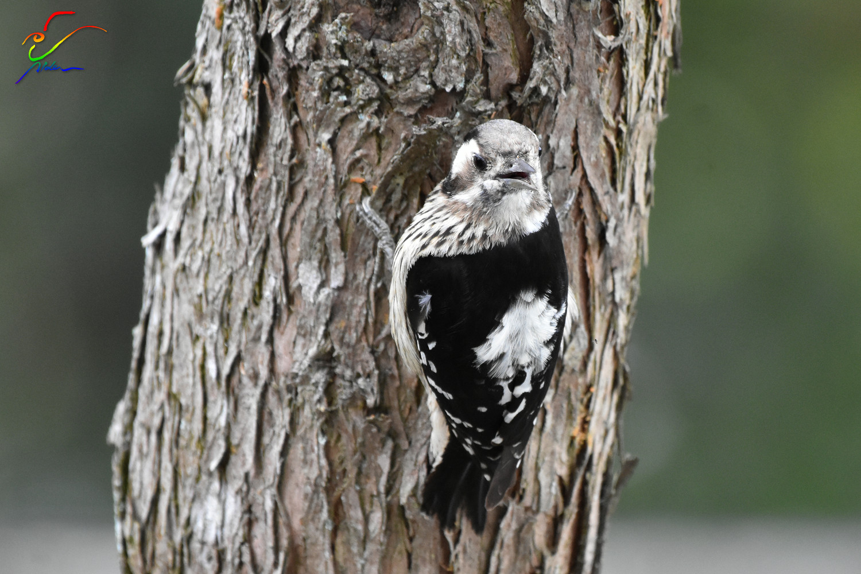 Grey-capped_Pygmy_Woodpecker_9803