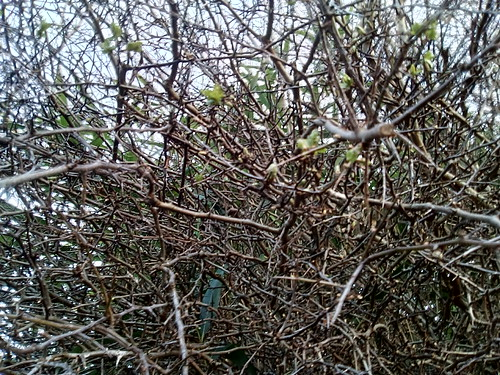 hawthorn first leaves Mar 18