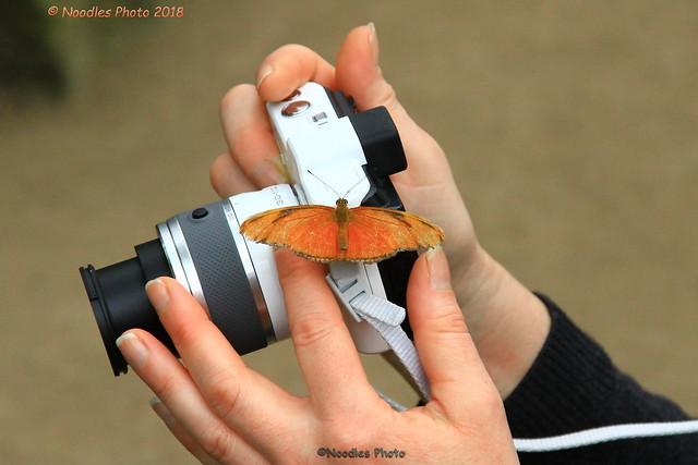 curious Julia butterfly - Neugieriger Julia-Falter