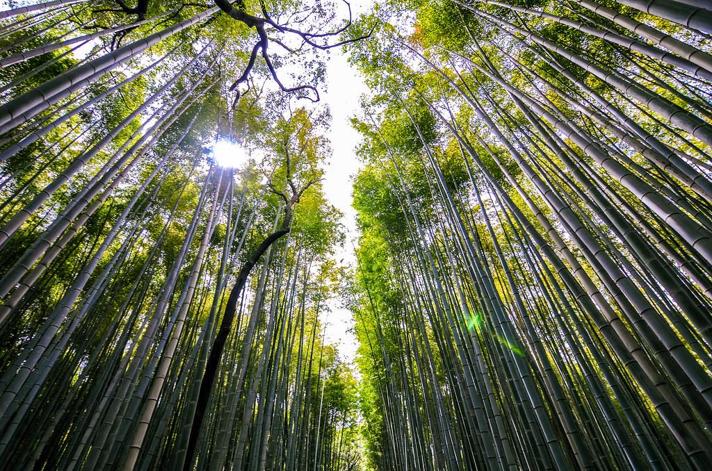 Bamboo grove sun