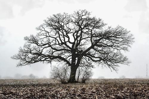 Bur oak or burr oak (Quercus macrocarpa - Fagaceae) in a snow storm