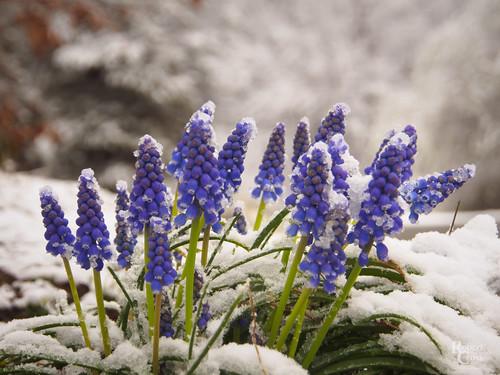 1250mmf3563mzuiko boston em5 malden massachusetts melrose omd olympus pinebankspark bluebells flowers landscape macro park snow spring winter