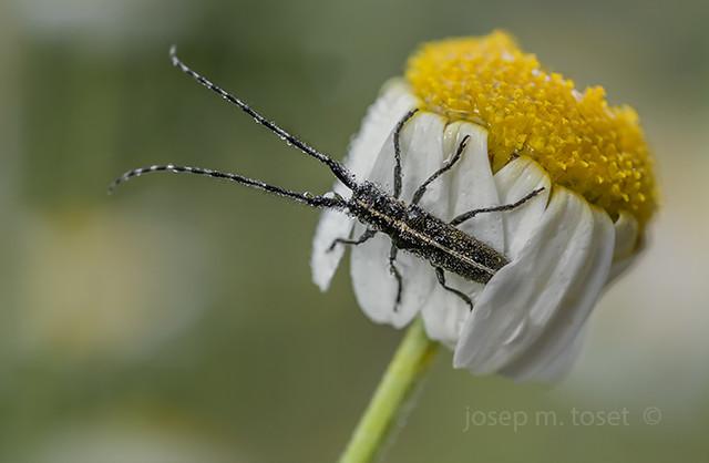 agapanthia sp.