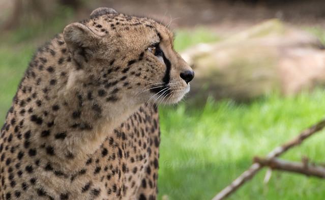 Cheetah Profile