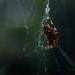 Web Weaver by shutterbugbekkie