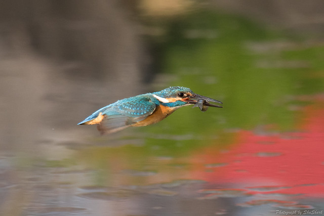 20180331-kingfisher-DSC_0728