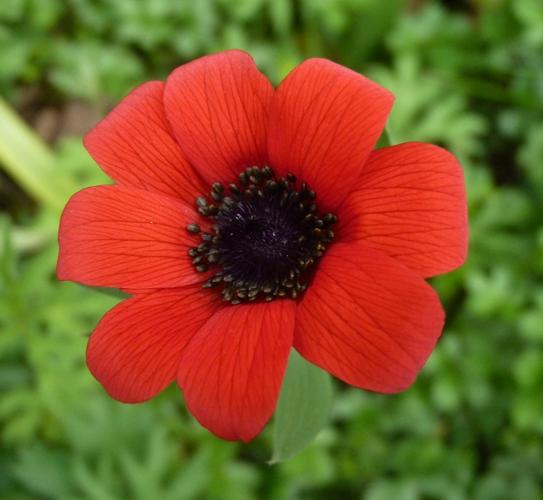 Anemone hortensis 40128385644_27aa31e3e5_o
