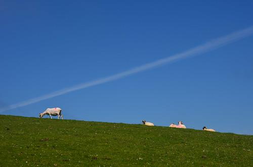 Schafe auf dem Hügelrücken