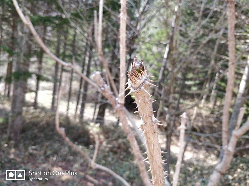 タラの芽採取 (5)
