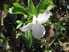 Trillium (T. grandiflorum) on April 12, 2018