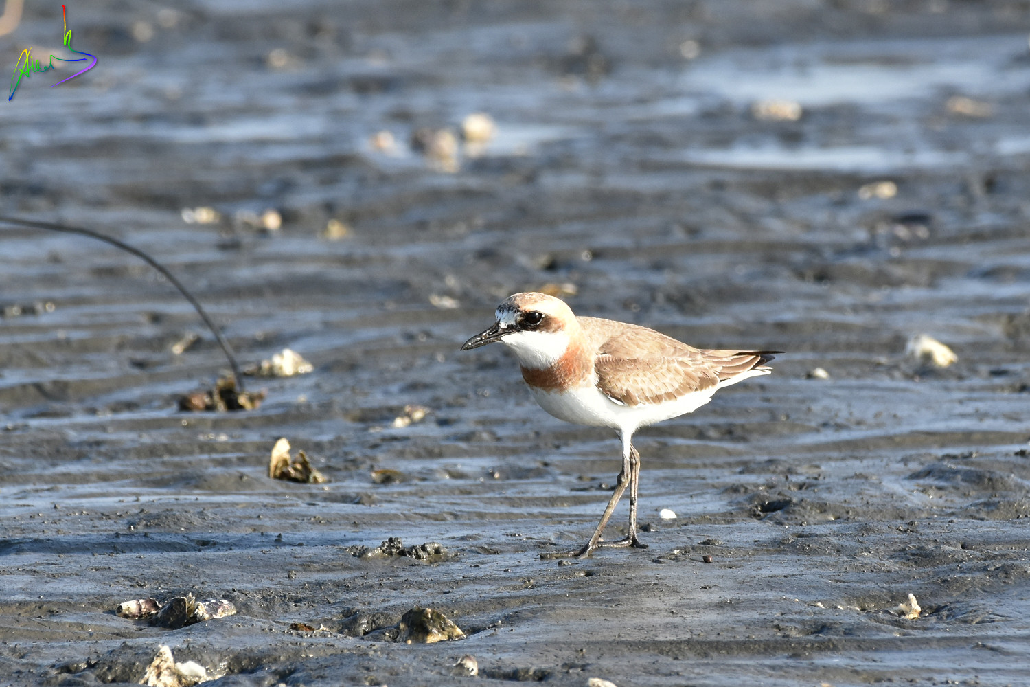 Greater_sand_plover_2167